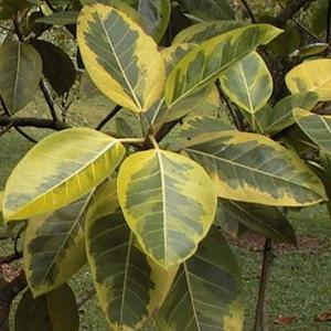 ficus-benghalensis-variegata.jpg