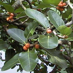ficus-benghalensis.jpg