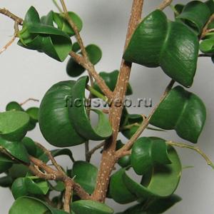Фикус бенджамина сорта - Ficus benjamina