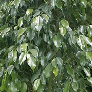 Ficus Allergie