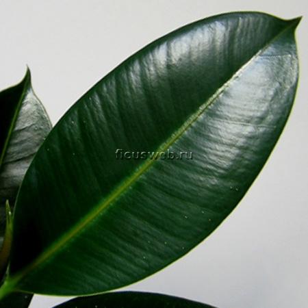 Фикус каучуконосный  Комнатные растения  фото и видео